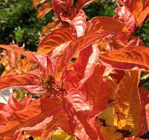 Bush_Honeysuckle__Kodiak_Orange_.jpg