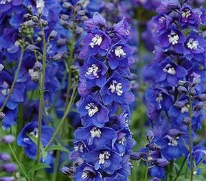 Delphinium_elatum__Dasante_Blue_.jpg