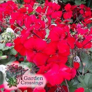 Pelargonium_(Geranium)__Brocade_Fire_.jpg
