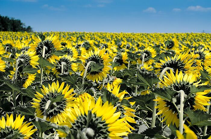 sunflower-summer-in-the-poconos.jpg